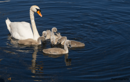 Family-of-Swans