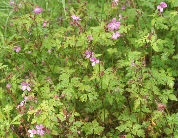 Herb robert also identify common weeds rhs gardening rh