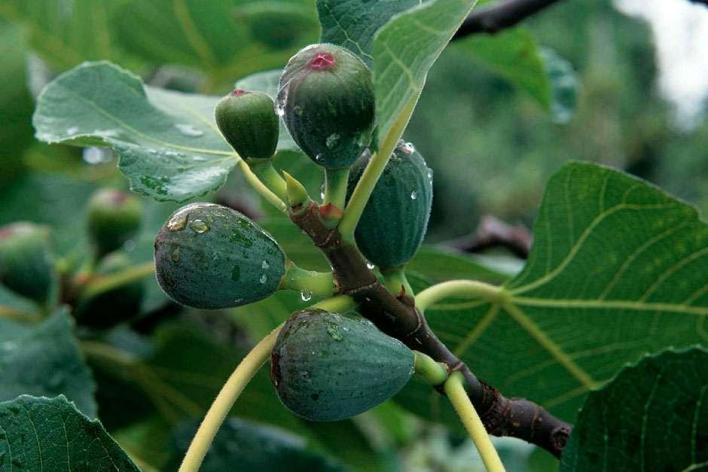 Image result for Common fig