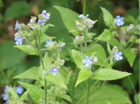 Green alkanet also identify common weeds rhs gardening rh
