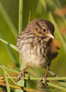 (4) Song Sparrow