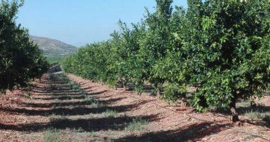 Conselleria d'Agricultura confirma a LA UNIÓ l'existència de parcel•les il•legals de la mandarina Sigal a la Comunitat Valenciana que no han passat la quarantena ni estan sanejades