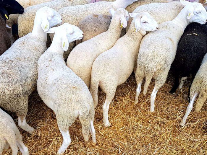 Agricultura destina 980.000 euros a la millora de la competitivitat i sostenibilitat de les explotacions ramaderes