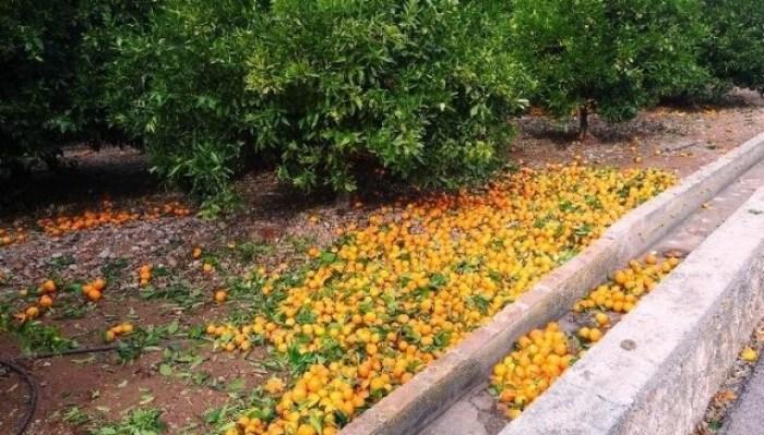 L'Alcúdia en defensa de la taronja valenciana i en suport dels citrocultors valencians
