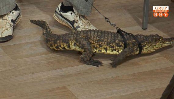"""El Circ de Nadal ha visitat """"Prop de tu"""" i ens han presentat a Pipo, un cocodril baby."""