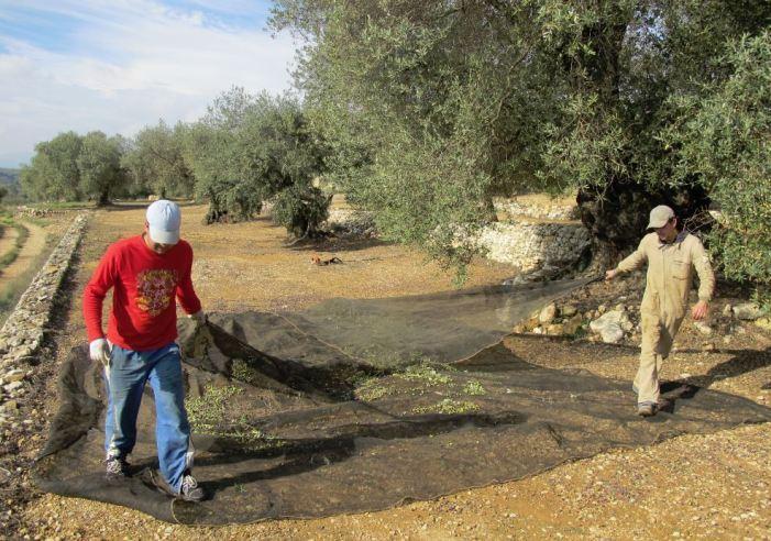 LA UNIÓ de Llauradors valora la campanya de l'oli d'oliva com molt negativa en la Comunitat Valenciana pel descens de quasi el 50% en producció i del 25% en els preus