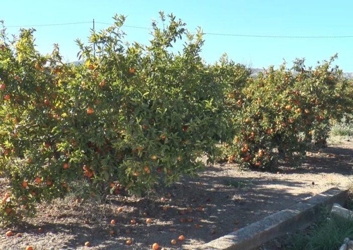 AVA-ASAJA adverteix de l'expansió de la taca foliar del caqui per les resistències als fungicides