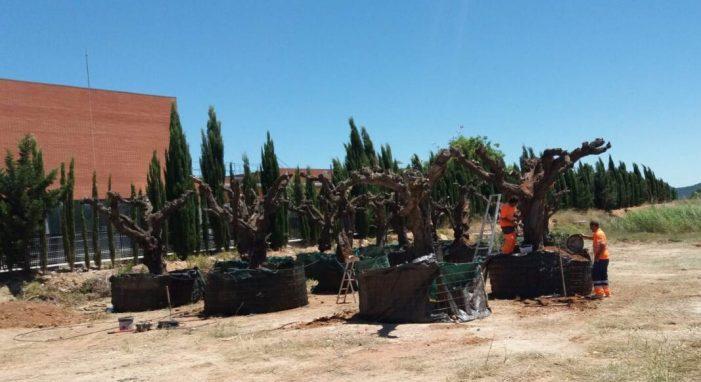 Turís recupera vint oliveres afectades per les obres de la CV-415