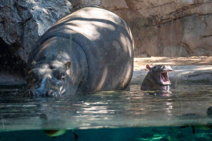 El bebé hipopòtam de BIOPARC València es dirà Gori