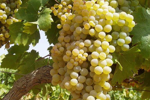 L'organització critica la passivitat del Ministeri d'Agricultura per a agilitar la fixació oficial d'uns costos mitjans de producció del raïm per a vi i cava