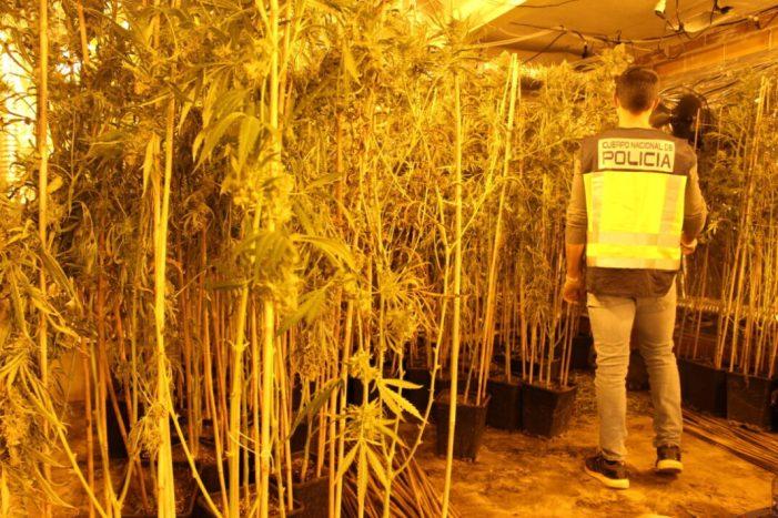 La Policia Nacional deté a quatre persones després de desmantellar unes 1500 plantes de marihuana en un avançat estat de creixement