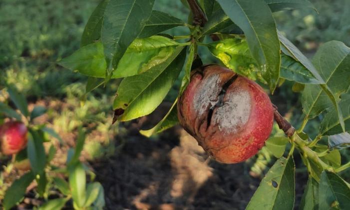 L'excés de pluges provoca danys en fruites d'os i pudrición de flors de cítrics