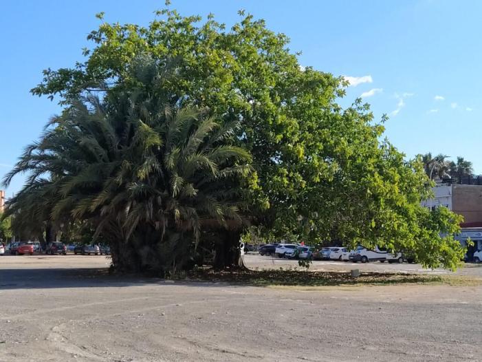 L'Ajuntament de València demanarà la protecció d'un ficus d'un solar del cabanyal com a arbre monumental