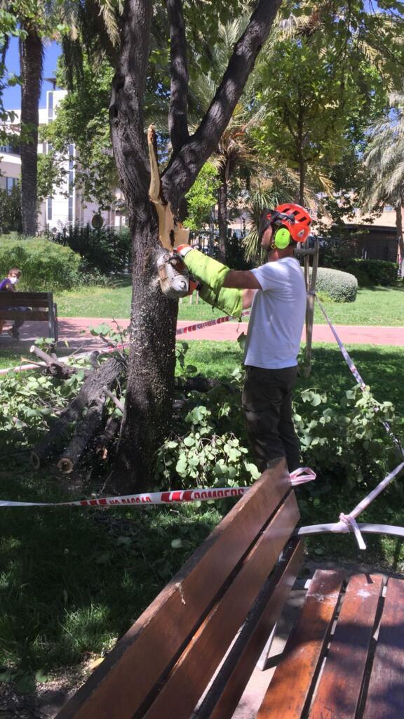 La Regidoria de Jardineria Sostenible de València ha podat vora 1.500 arbres durant el mes de maig
