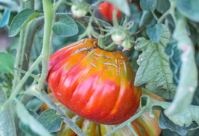 La conserva di pomodoro in Abruzzo: una tradizione da preservare