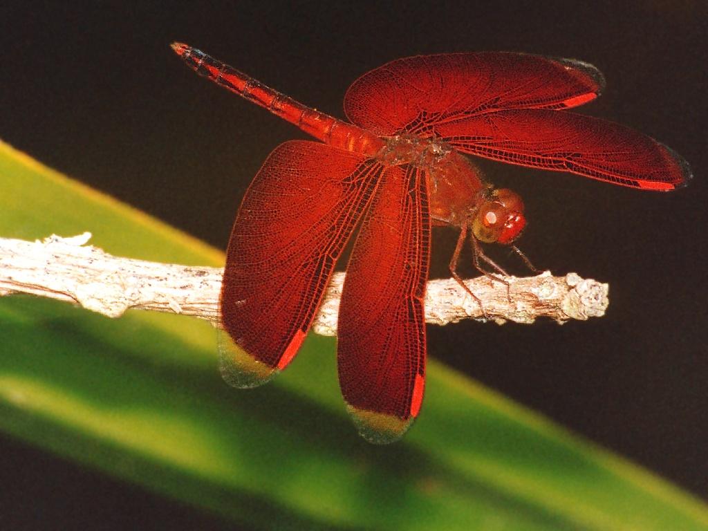 https://i0.wp.com/www.richard-seaman.com/Wallpaper/Nature/Dragonflies/SolomonIslandDragonfly.jpg
