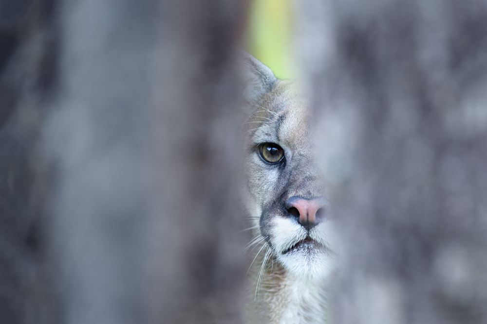 A mountain lion peering through the trees, Height of the Rockies Provencial Park, British Columbia, Canada