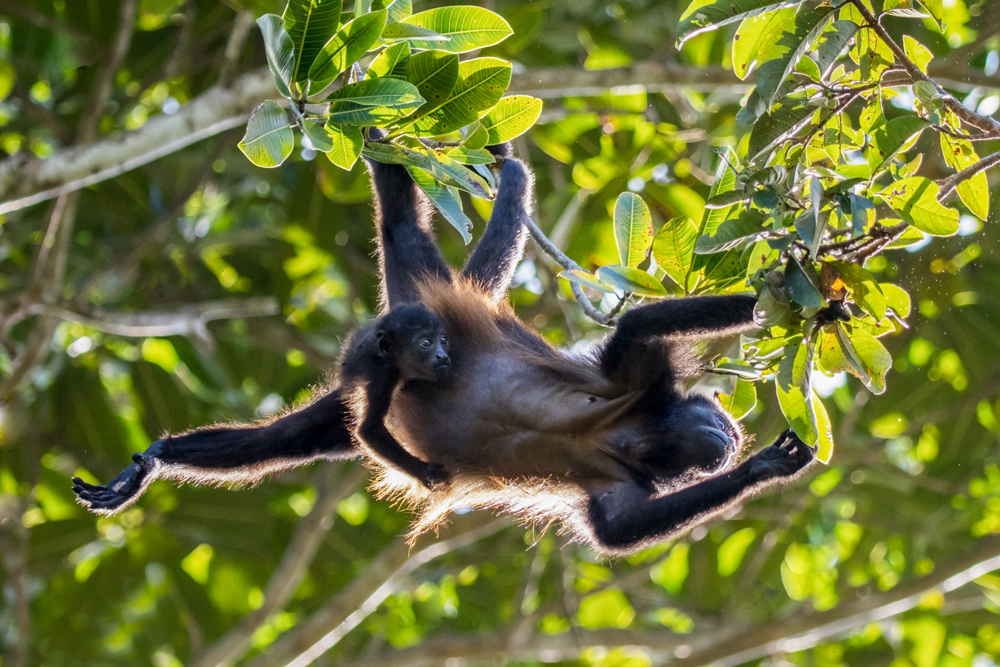 Mantled howler (Alouatta palliata), or golden-mantled howling monkey and infant in tree, Osa Peninsula, Costa Rica