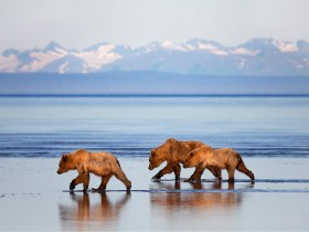 The Coastal Brown Bears of Alaska
