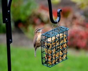 Carolina Wren on feeder