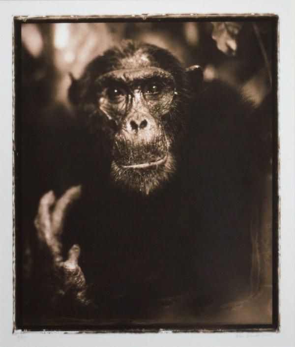 NICK BRANDT-PHOTOGRAPH-PORTRAIT OF OLD CHIMPANZEE