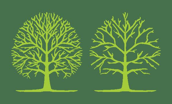 A picture description when a tree has had a crown thin