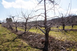 Apple orchard in April