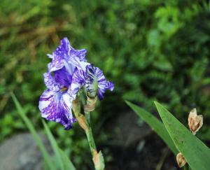 Maria's Iris