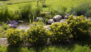 Potentilla by the pond
