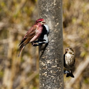 Purple-Finch-Male-and-Female
