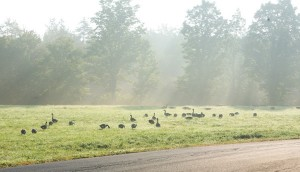 Vermont - Canada Geese Feed in Morning Mist