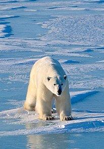 climate-change_polar-bear-on-ice.jpg