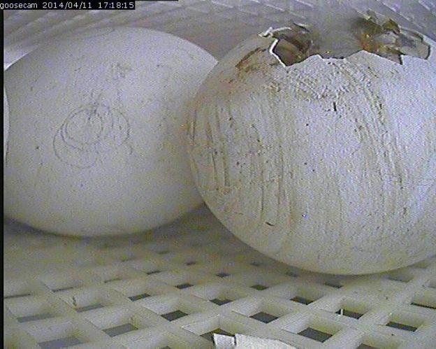 Goose Incubator Camera
