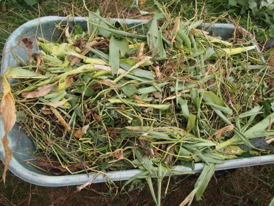 Some sweetcorn and mostly french beans - 4 wheelbarrow loads