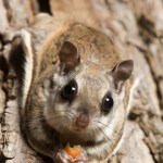 flying squirrel pest control in alleghany va