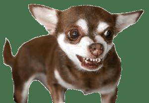 chihuahua-small
