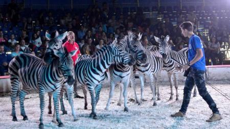 Zebrák a porondon