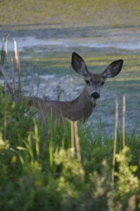 Deer-blog-680x1024