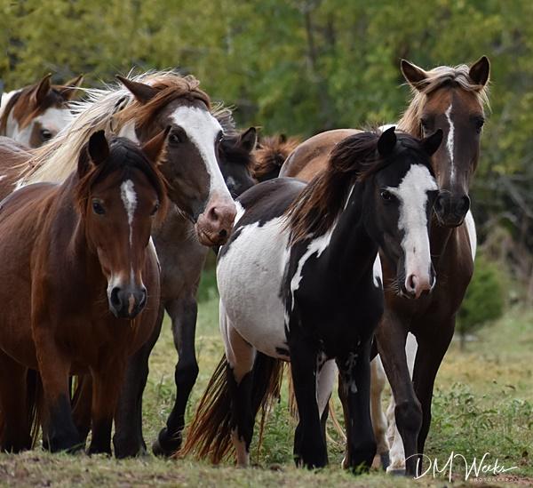 Rickman Spanish Mustangs, horses, Mustangs, Gilbert Jones, Blackjack Mountain, Colonial Spanish horses, Oklahoma, Oklahoma Heritage Horses