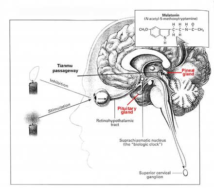 Melatonin: a modular molecule