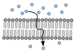 Membrane Transport Worksheet Answers