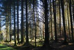 Cookworthy Forest plantation