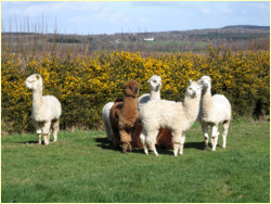 Alpacas at Upper Priestacott Farm