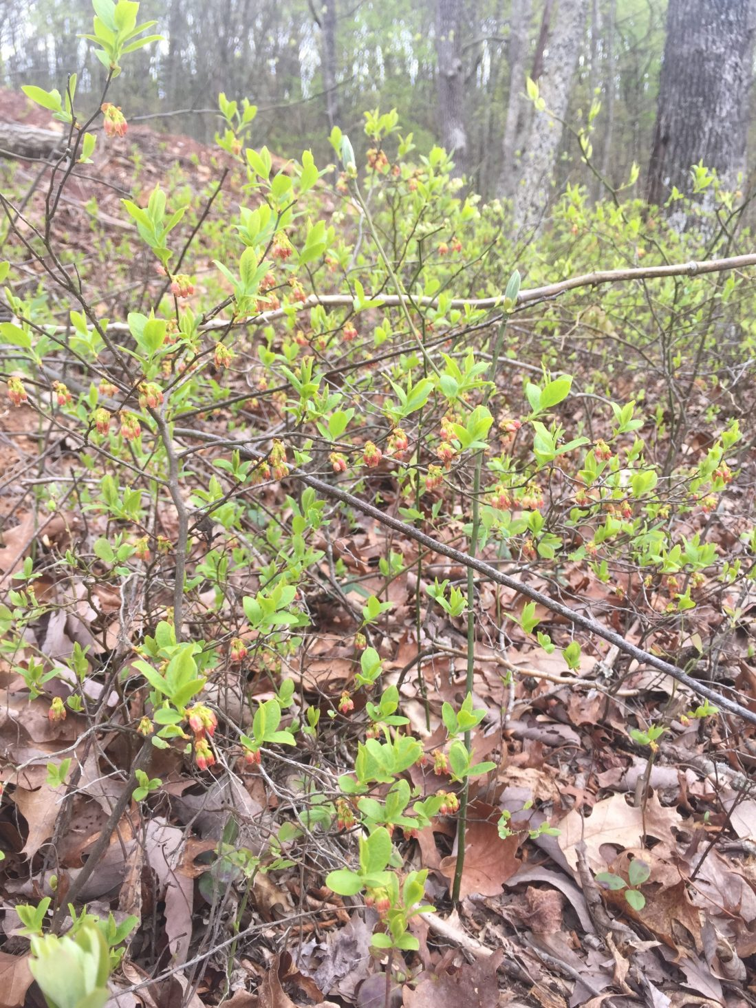 Huckleberry or wild blueberry blossoms