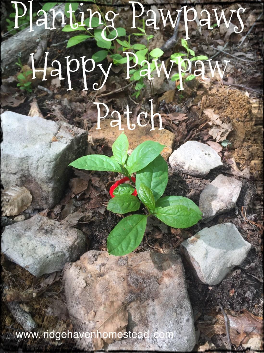 Planting Pawpaw trees