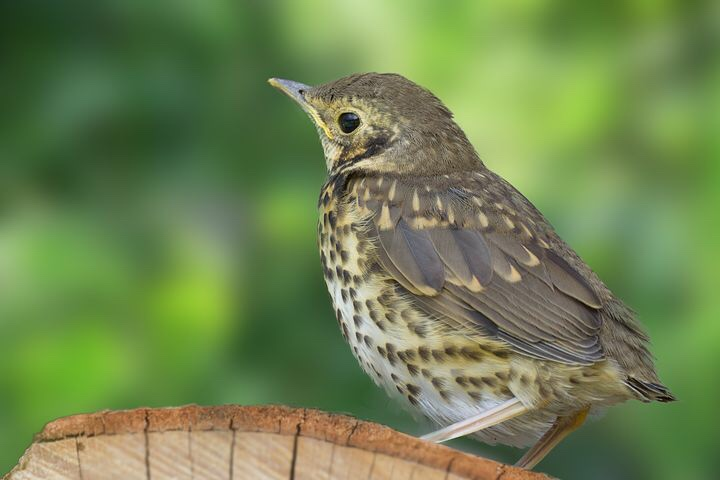 Wood thrush. Hope