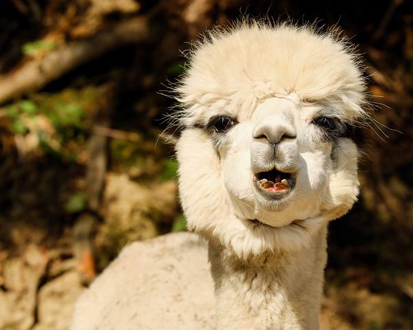 Teen travel journal alpaca