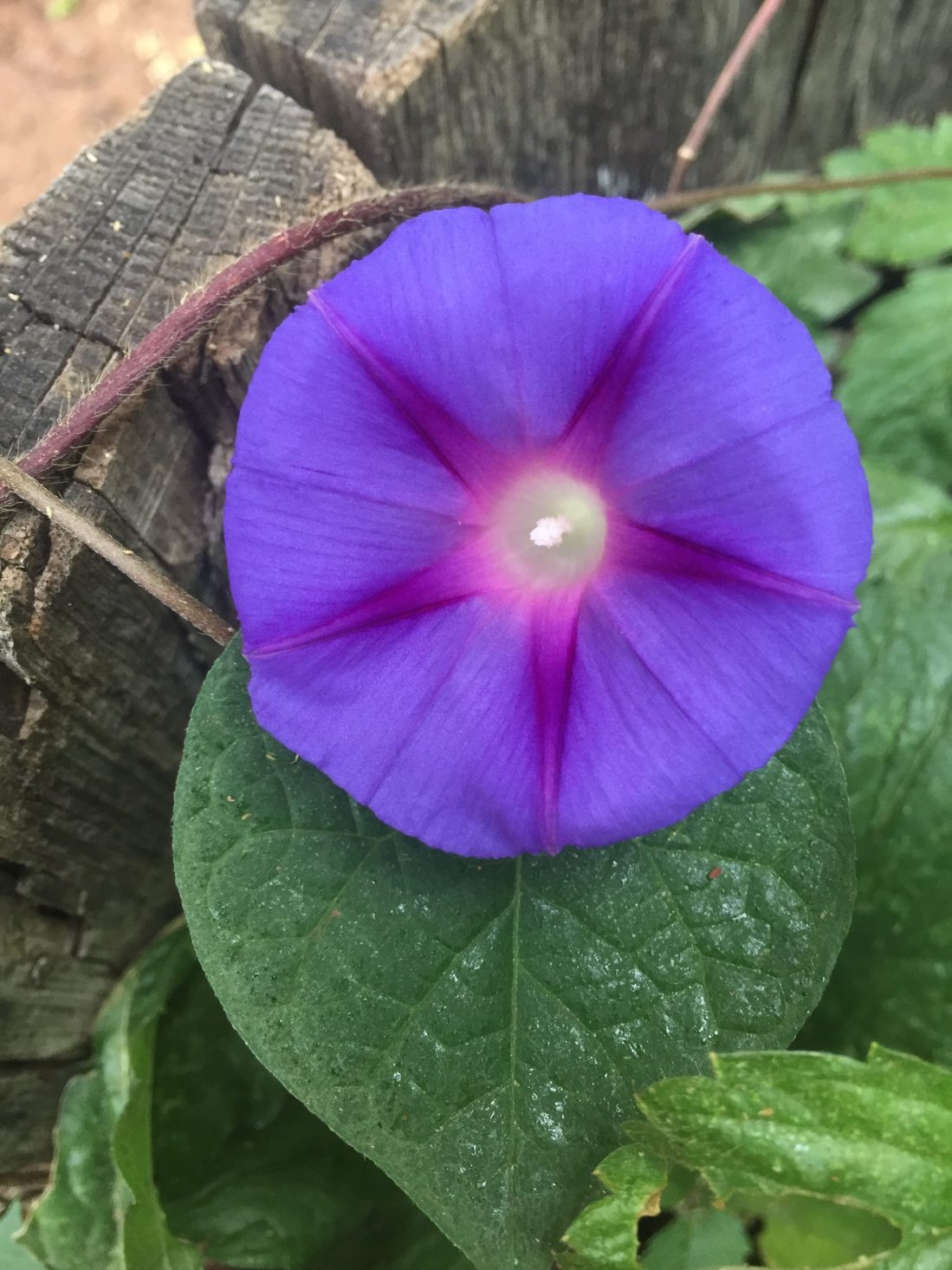 Purple morning glory in autumn