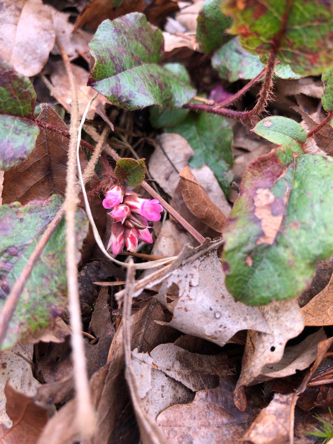 Trailing Arbutus closed blooms