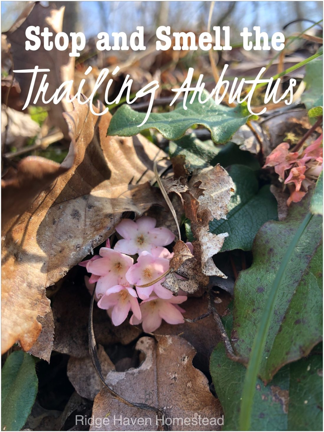 Stop and Smell the Trailing Arbutus